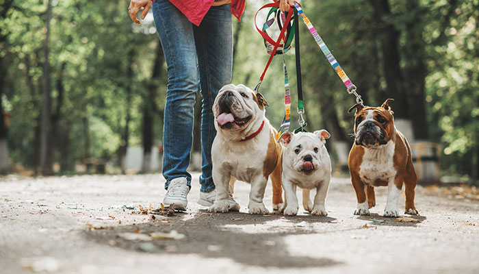 photo of three dogs on leashes being walked by their owner