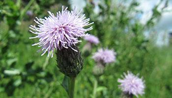 Canadian thistle image