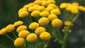 Photo of Common-Tansy
