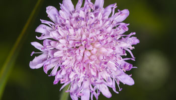 Photo of Field Scabious