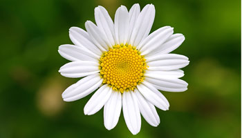 Photo of Oxeye Daisy
