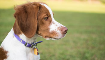 Brittany spaniel in profile with collar and licence visible