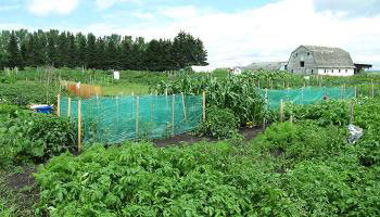 Vegetables growing in Piper Creek Gardens with barn in the background.