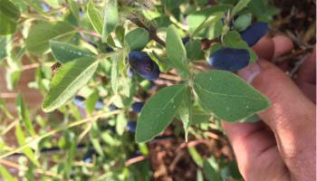 close up of haskap berries growing in community orchard