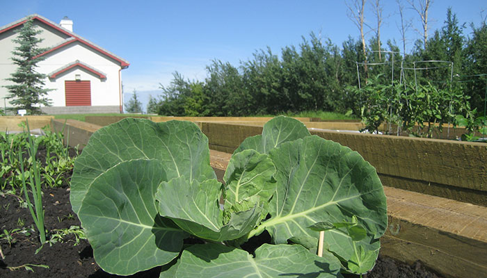 image of vegetables growing in a community garden