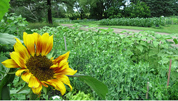 picture of a garden and sunflower